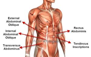 Abdominal muscle diagram