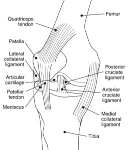 Diagram of the knee