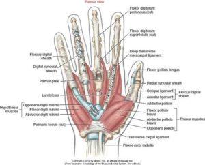 hand anantomy