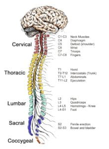 Brain and spine diagram