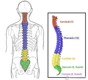 Different parts of the vertebral column