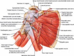 Muscular diagram of the shoulder